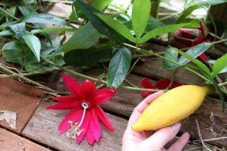 バナナパッションフルーツの種