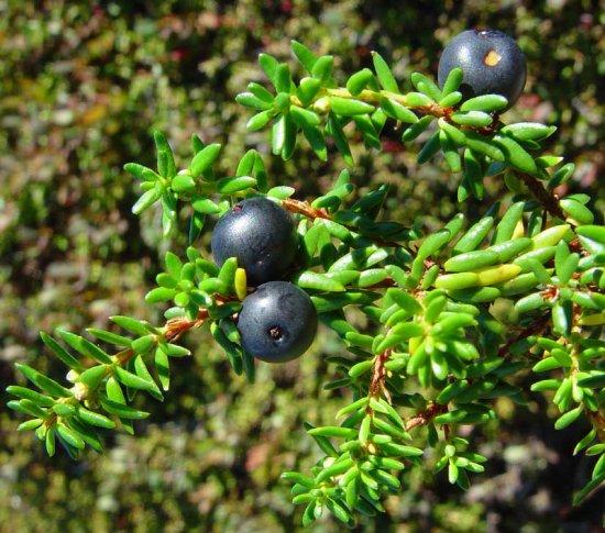 ブラッククロウベリーの種