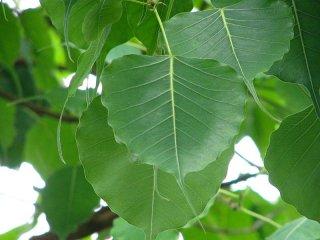インドボダイジュ(印度菩提樹)の種