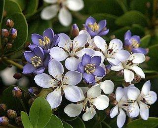 ユソウボク(癒瘡木、リグナムバイタ)の種