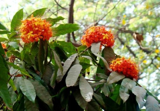 ムユウジュ(無憂樹)の種