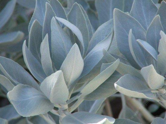 ホワイトセージ(サルビア・アピアナ)の種