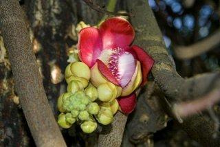 サラソウジュ(沙羅双樹)の種