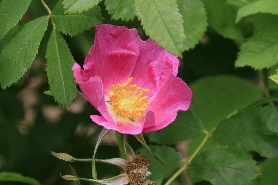 ロサヌトカーナの種