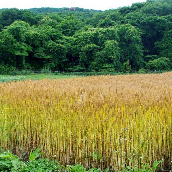 フクハルカ(小麦、ウィートグラス、小...