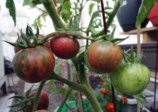 ブラックベルニサージュトマトの種