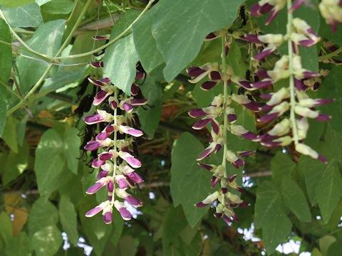 ムクナ豆(ハッショウマメ)の種