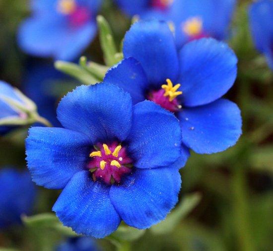 アナガリスモネリー(レッド、ブルー)の種