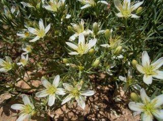 シリアンルー(ワイルドルー)の種
