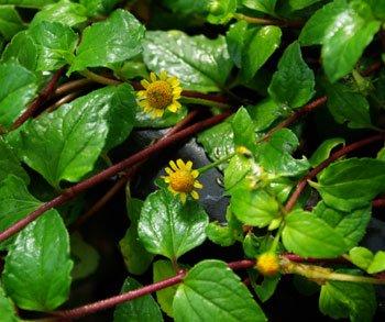 アクメラカリーヒザ(ケニヤンアクメラ)種