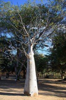 モリンガ・ドロウハーディ(ボトルツリー)の種