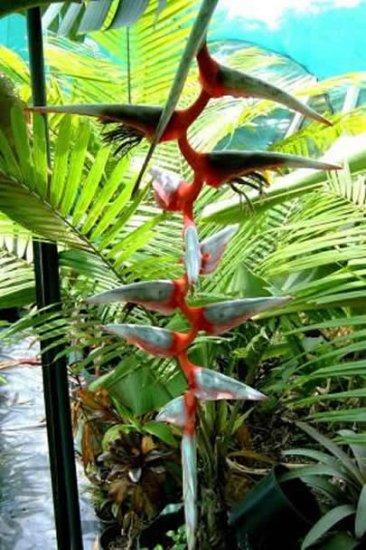 ヘリコニア・グリッグシアナの種