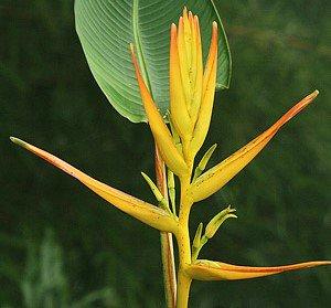 ヘリコニア・ラティスパタの種