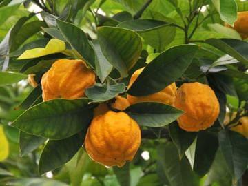 ダイダイ(ビターオレンジ)の種