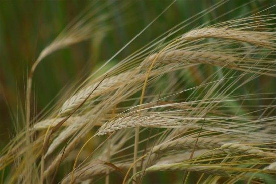 エチオピアン大麦の種 *籾殻無し