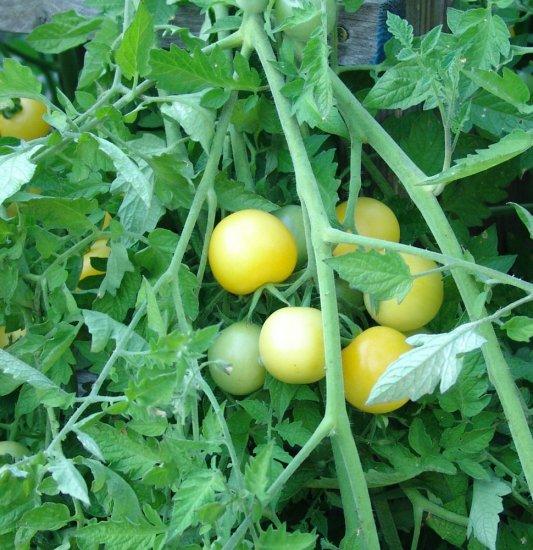スーパースノーホワイトチェリートマトの種