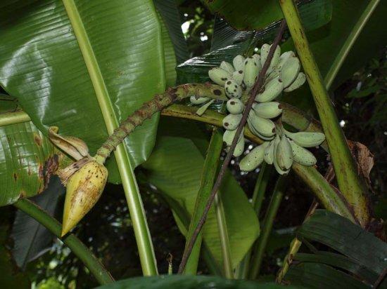 チネンシスバナナの種
