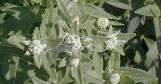 ヘアリーマウンテンミント(細葉)の種