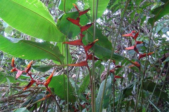 ヘリコニア・スパソサーシナータの種