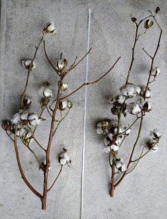 コットンフラワー(綿花)
