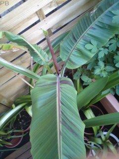ヒマラヤンバナナの種