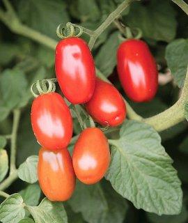 バレンタインレッドグレープトマトの種 *F1