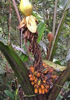 ブラダバナナの種