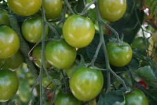 サングリーントマトの種 *F1