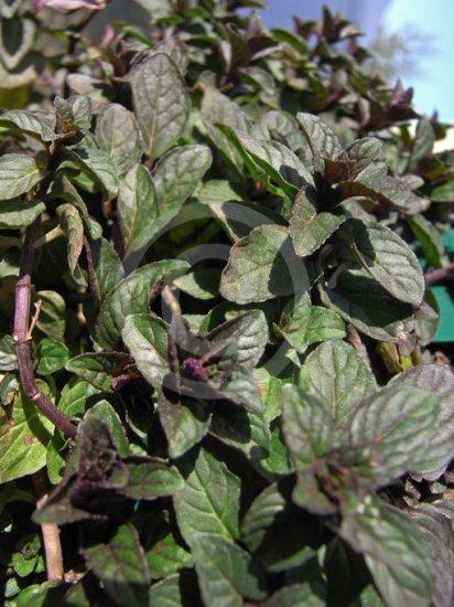 チョコレートミントの種
