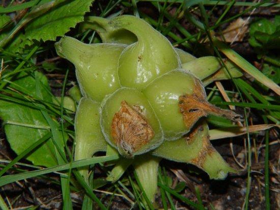 チャイニーズヘーゼルナッツの種
