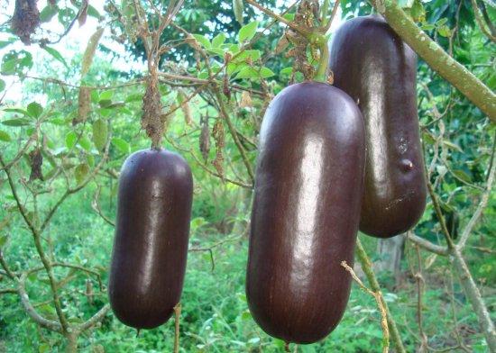 シカナ瓜の種
