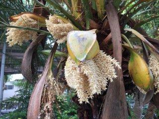 シンノウヤシ(フェニックス ロベレニー)の種