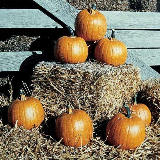 ハロウィンかぼちゃ(Autumn Gold)の種...