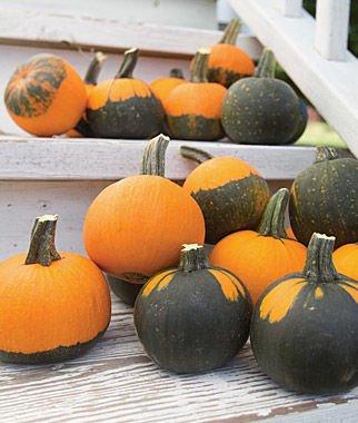 バットウィングかぼちゃの種