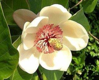 タイサンボク(キャスカートマグノリア)の種