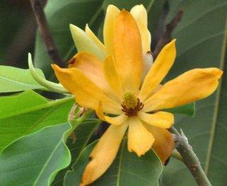 キンコウボク(金香朴、チャンパカ)の種
