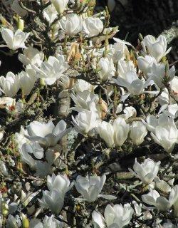 オガタマノキ(黄心樹、招霊木、小賀玉木、ミケリアマグノリア)の種