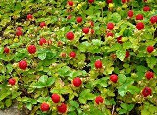 インディアンストロベリー(ヤブヘビイチゴ)の種子