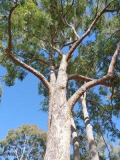 ユーカリ・クロエジアナ(ジンピーメスメート)の種