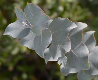 ユーカリ・プルベルレンタ(銀世界ユーカリ)の種