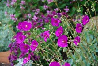 カランドリニア・グランディフロラの種