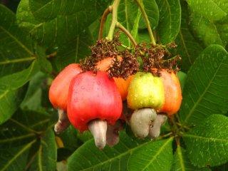 カシューナッツの種