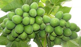 ジャトロファ(ナンヨウアブラギリ)の種