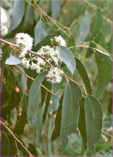 ユーカリ・オブリクアビクトリア(メスメートユーカリ)の種