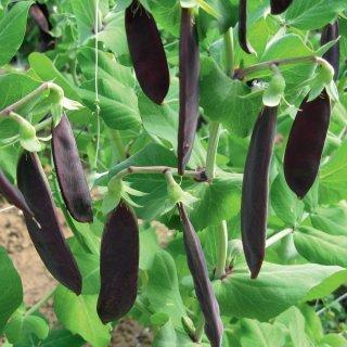 紫スナップエンドウ(古代エンドウ、ツタンカーメンのえんどう豆)の種
