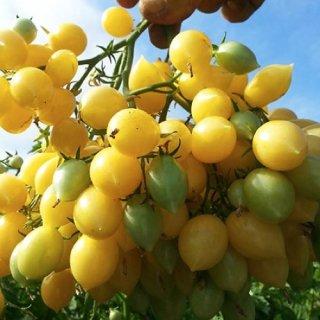 バリーズクレージーチェリートマトの種