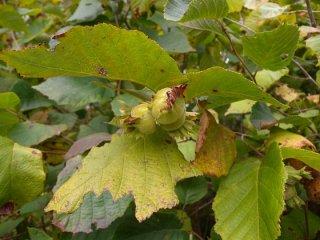 アメリカンヘーゼルナッツ(アメリカハシバミ)の種