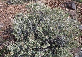シャッドスケール(アトリプレックス・コンフェーティフォリア)の種