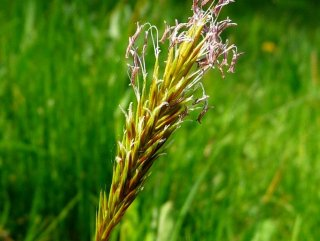 ハルガヤ(スイートヴァーナルグラス)の種