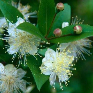 ミルトス(祝いの木、マートル、ギンバイカ)の種